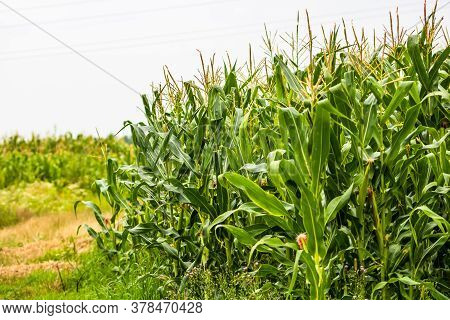 Sun Lights Over A Green Corn Field Growing, Detail Of Green Corn On Agricultural Field.