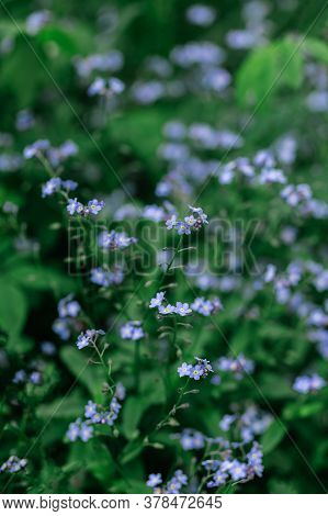 Tender Forget-me-not Flowers In A Spring Garden. Dark Green Background. Selective Focus.
