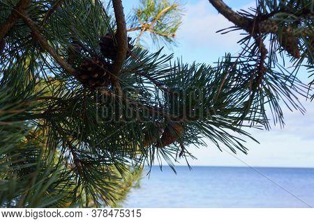 Spruce Branch, Long Needles On A Spruce Branch