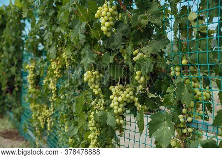 Bunch Of Ripe Juicy Grapes On A Branch In Bright Sunlight