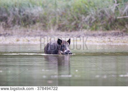 Wild Boar (sus Scrofa Ferus) Walking In Shallow Water. Wildlife In Natural Habitat