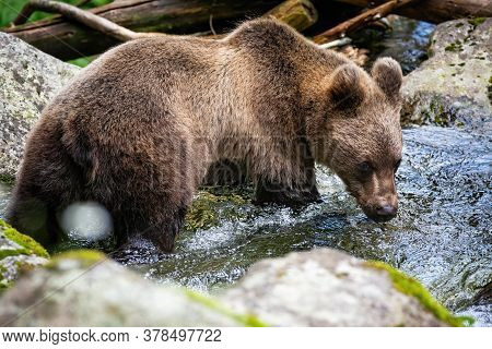 Vital Brown Bear Standing In River And Drinking Water