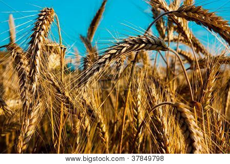 Wheat ear