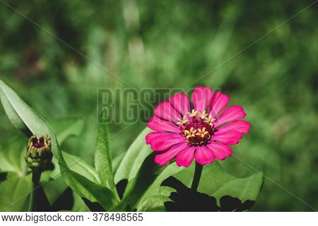 Zinnia Elegans, Known As Youth-and-age, Common Zinnia Or Elegant Zinnia, An Annual Flowering Plant O