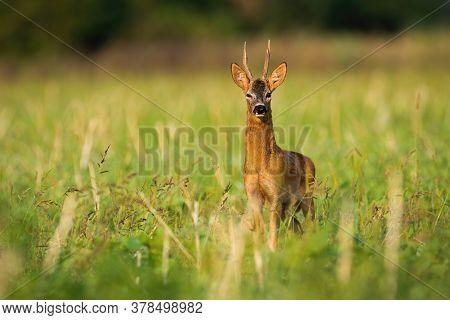 Impressive Roe Deer Buck Standing On Field In Summer Morning.
