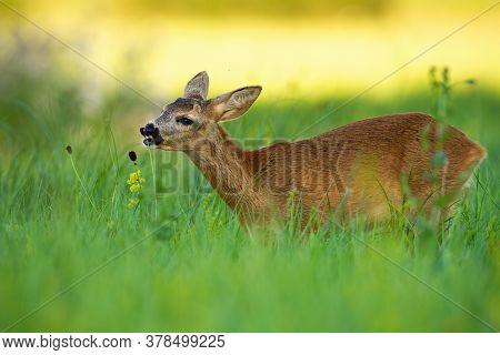 Roe Deer Doe Feeding On Meadow In Summertime Nature.