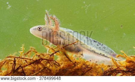 Danube Crested Newt Larva Swimming In Wetland From Close Up.