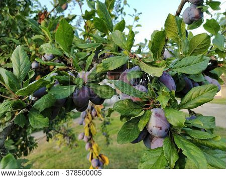 Plums On A Branch. Purple Ripe Fruits On A Plum Tree. Green Leaves And A Few Plums. Harvest.