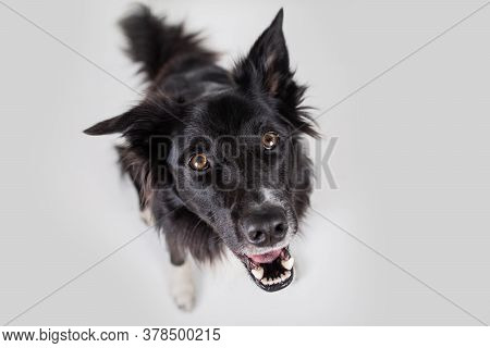 Close Up Portrait Of Purebred Dog Funny Emotion. Open Mouth And Big Eyes Looking Up Attentive Starin