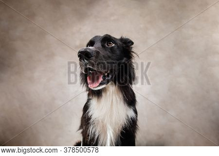 Closeup Portrait Of A Cheerful Purebred Border Collie Dog Looking Up Isolated On White Background Wi