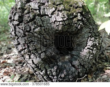 Hollow In A Tree Trunk. Old Tree In The Forest. Bark Texture. A Knot, In The Place Of Which A Hollow