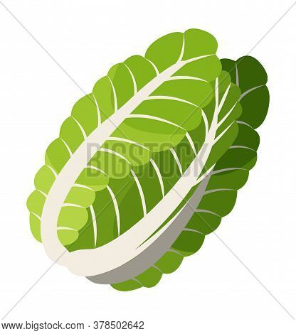 Isolated At White Background Chinese Cabbage Icon. Natural Organic Vegetable For Salad Or Culinary.