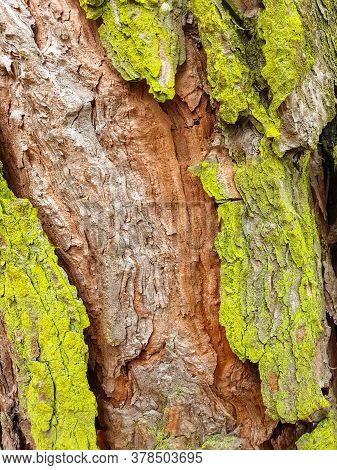 Portrait Of Green Color Fresh Moss On The Skin Of  Pinus Roxburghii Tree In Spring Season With Selec