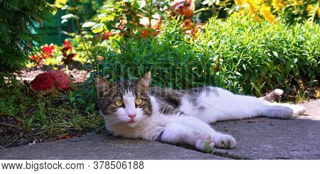 Elegant Cat With Brown And White Fur Lies On Grey Asphalt In Shadow Near Flowerbed With Green Grass