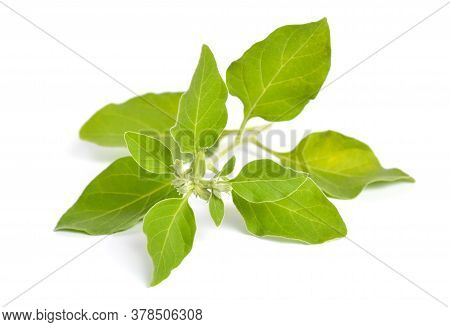 Withania Somnifera, Known Commonly As Ashwagandha, Indian Ginseng, Poison Gooseberry, Or Winter Cher