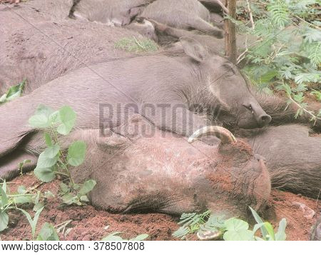 Warthog Mother And Litter Taking An Afternoon Sleep In Chobe National Park In Botswana