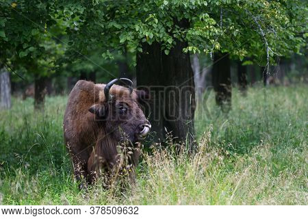 European Bison In The Wood