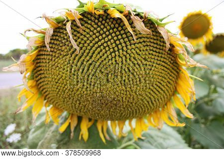 Closeup Of Seeds Of A Green Sunflower Flower In Tuscany