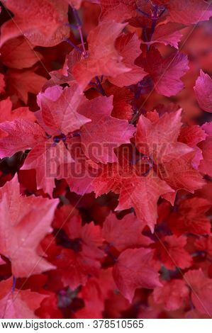 Red Autumn Leaves On A Wall Background