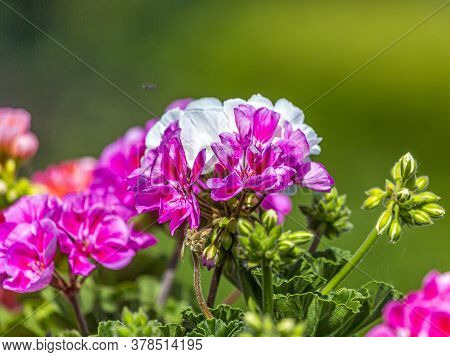 Closeup Of White And Pink Colored Cranesbill Blossoms