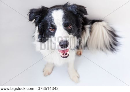 Funny Studio Portrait Of Cute Smiling Puppy Dog Border Collie Isolated On White Background. New Love