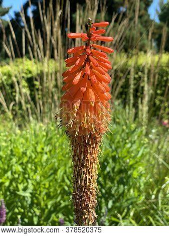 Tritomea (kniphofia Uvaria L.), Torch Lily, Red Hot Poker, Schopf-fackellilie, Traubige Fackellilie