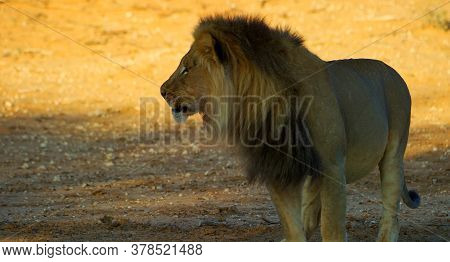 Here In The Image We See A Very Gorgeous Lion And It Is Dangerous.