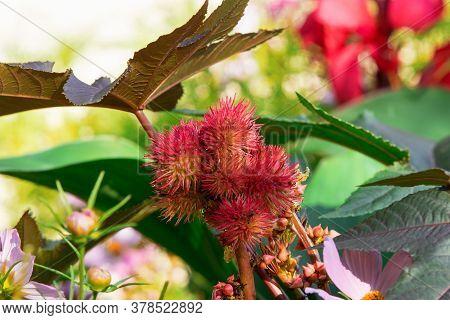 Ricinus Communis Or Carmencita, Also Castor Oil Plant. Close Up. Perennial Flowering Plant In The Sp