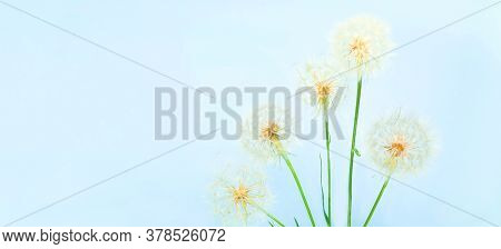 White Dandelions Inflorescence On Blue Background. Concept For Festive Background Or For Project. He
