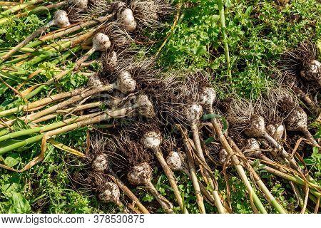 Fresh Garlic Dug From The Garden Bed. Harvesting Garlic In The Garden.