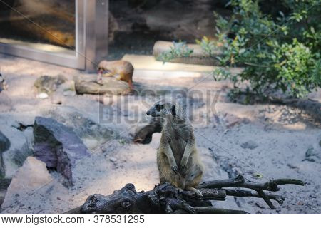 Meerkat Is On Guard. Meerkat Sits On A Dry Tree Branch And Observes The Environment Carefully.