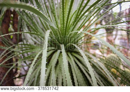 Species Of Flowering Plant Dasylirion Leiophyllum (known By The Common Names Green Sotol, Smooth-lea