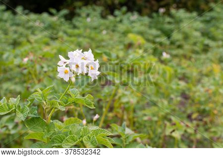 Growing Potatoes On A Garden Bed, Green Leaves Of Potato With Inflorescence, Organic Natural Vegetab
