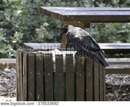 A Gray Crow Inspecting The Content Of A Trash Bin In A Picnic Site In Jerusalem, Israel
