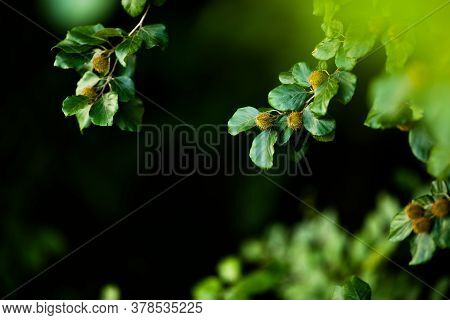 Beech Branches With Beech Nuts In The Summer Forest. Natural Background
