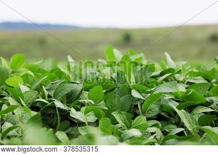 Growing Green Soybean Field. Legumes. Agricultural Industry.