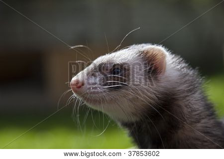 Satisfied ferret posing on camera on green field poster