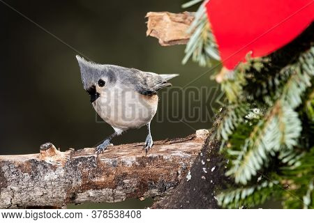 Tufted Titmouse Playing With A Merry Christmas Wreath