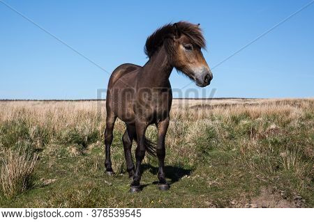 Frontal View Of Wild Exmoor Pony Horse With Impressive Mane In Somerset Uk