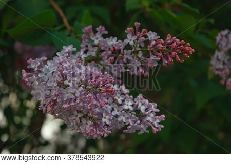 Branch With Spring Lilac Flowers. Purple Lilac Flowers. Nature Background.