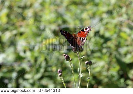 Peacock Butterfly Sucks Nectar On A Flower