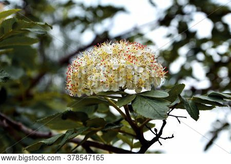 Rowan Inflorescence Close-up In Spring. Flowering Shrubs.
