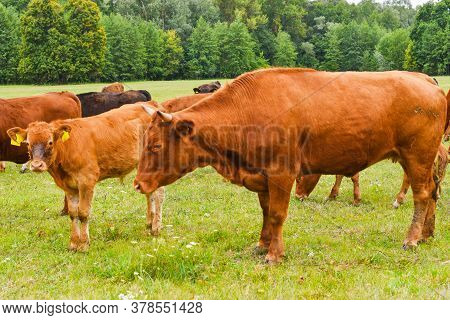 Cow In Meadow. Rural Composition. Cows Grazing In The Meadow. Cows Volyn Meat, Limousine, Abordin