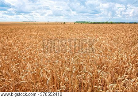 Wheat Field. Ears Of Golden Wheat . Background Of Ripening Ears Of Wheat Field. Rich Harvest Concept