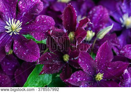 Purple Clematis Flowers (clematis Viticella) In Water Drops After Rain