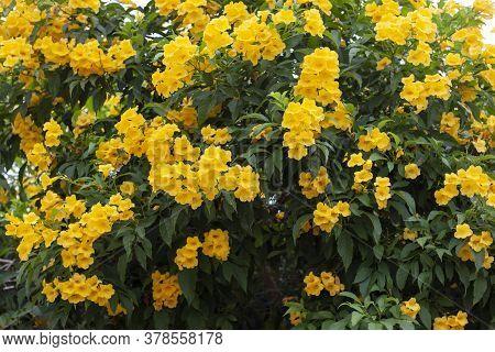 Yellow Elder, Trumpetbush, Trumpetflower Full Bloom Early For Background.