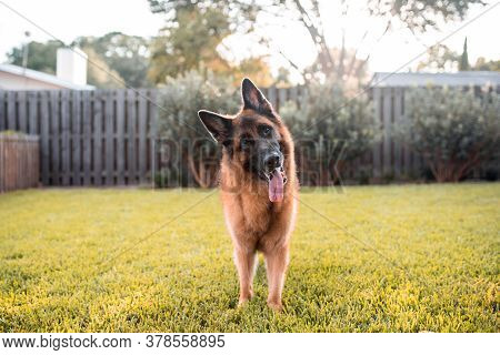 German Shepherd Dog Relaxing On Grass In A Well Maintained Yard