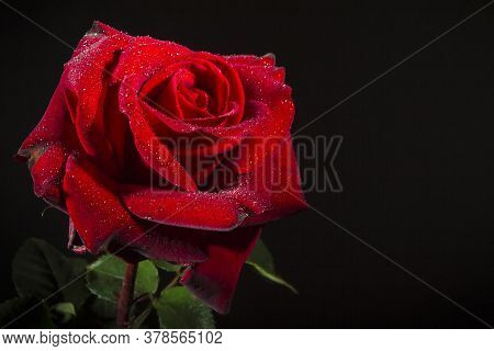 Scarlet Rose With Dew Drops On A Black Background