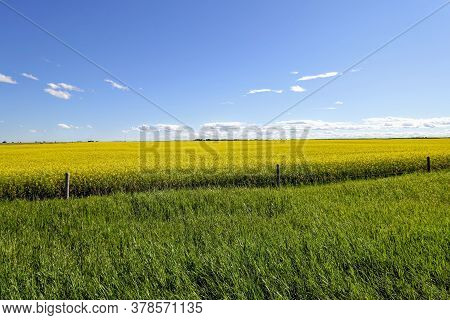 A Yellow Sea Of Canola Fields On A Beautiful Sunny Day In Alberta, Canada