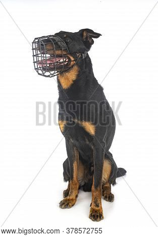 Berger De Beauce And Muzzle  In Front Of White Background